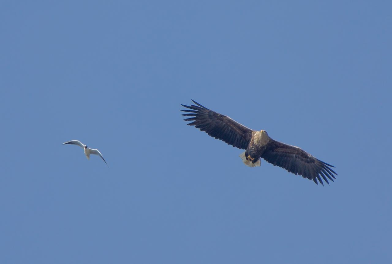 Black-headed Gull shows the White-tailed Eagle how he will fly