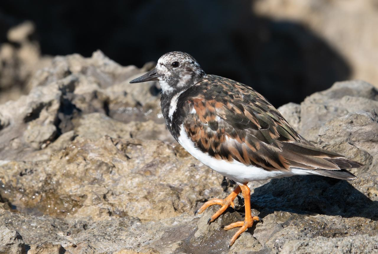 Turnstone on the rocks in Santander,