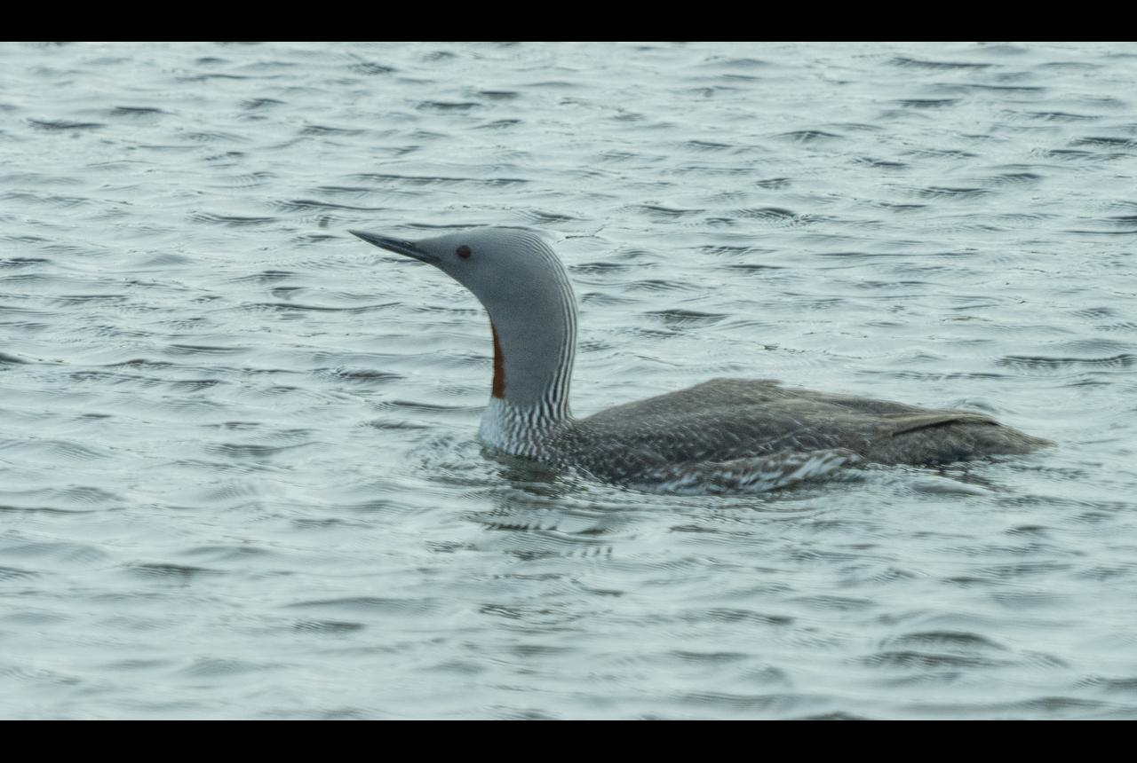 Red-throuted Loon